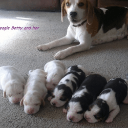 Beagle Puppies Pure Breed