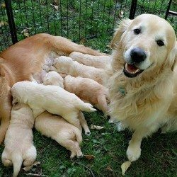 GOLDEN RETRIEVER PURE BRED PUPPIES