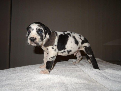Great Dane X Cane Corso Puppies Find Me A Pet