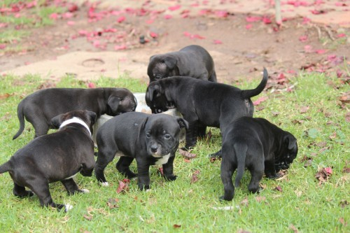 Purebred English Staffy Puppies For Sale Find Me A Pet