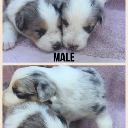 FOR SALE BORDER COLLIE PUPS (many colours)