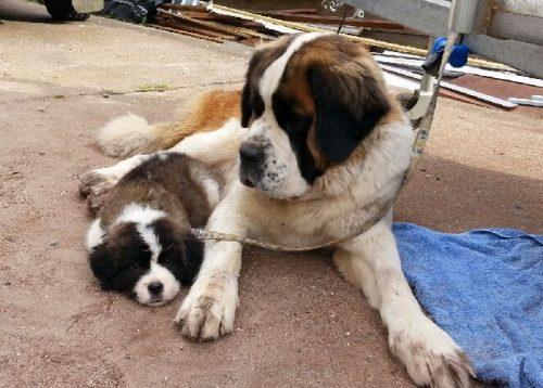 Saint Bernard Puppies for sale - Find Me a Pet
