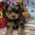 Xman Yorkie puppies for sale - Image 2