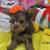 Xman Yorkie puppies for sale - Image 1