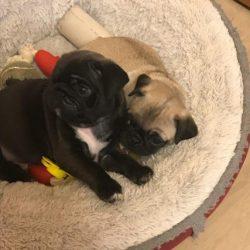 Pug - Find Me a Pet