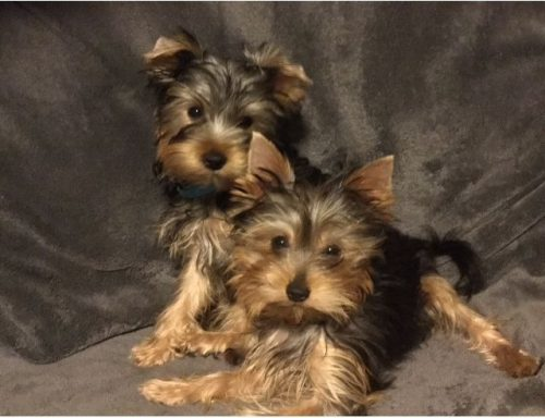 beautiful-yorkshire-terrier-puppies-5c42382eac6fc