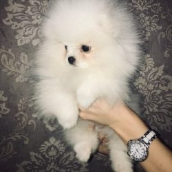 beautiful-kc-registered-pomeranian-puppies-5c44f8bdeb8aa