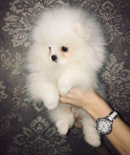 beautiful-kc-registered-pomeranian-puppies-5c44f8bdeb8aa