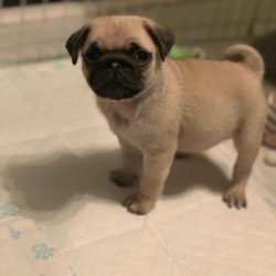 beautiful-pug-puppies-5c2e7a00d5d09