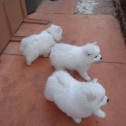 Japanese spitz puppies