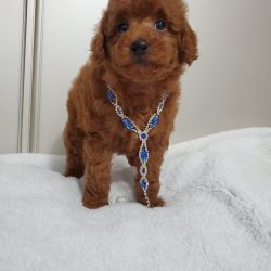toy poodle (2)
