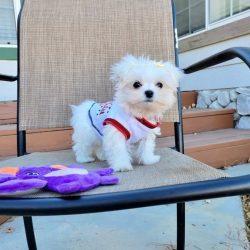 maltese-puppy (3)