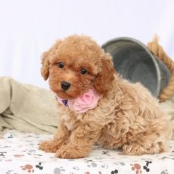 toy poodle (4)